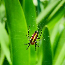 Featured spider picture of Alpaida leucogramma