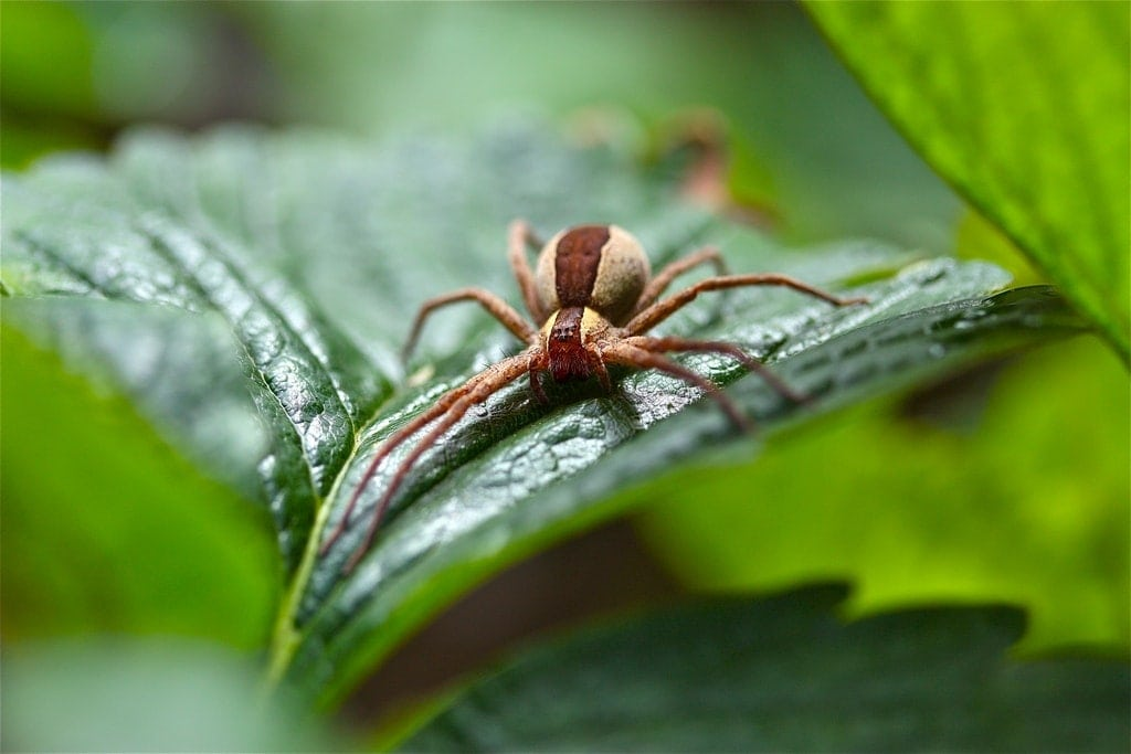 Picture of Pisaurina mira (Nursery Web Spider) - Female - Eyes,Gravid