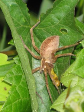 Picture of Pisaurina mira (Nursery Web Spider) - Female - Gravid,Lateral