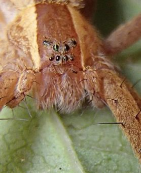 Picture of Pisaurina mira (Nursery Web Spider) - Female - Eyes