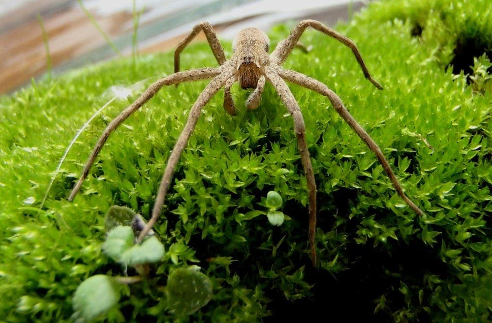 Picture of Pisaurina mira (Nursery Web Spider) - Male - Eyes