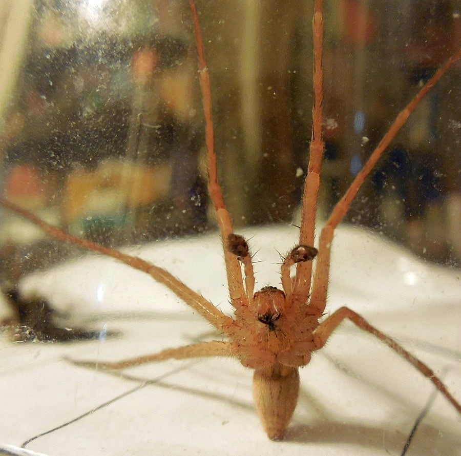 Picture of Pisaurina mira (Nursery Web Spider) - Male - Ventral