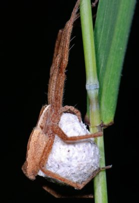 Picture of Pisaurina mira (Nursery Web Spider) - Female - Egg Sacs,Lateral