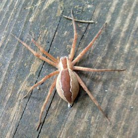 Picture of Pisaurina mira (Nursery Web Spider) - Female - Dorsal,Gravid