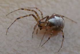 Picture of Pityohyphantes spp. (Hammock Spiders) - Female - Eyes,Lateral