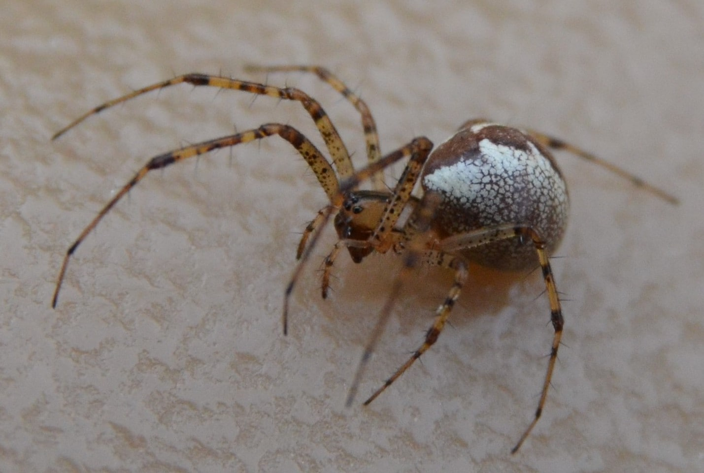 Picture of Pityohyphantes (Hammock Spiders) - Female - Eyes,Lateral