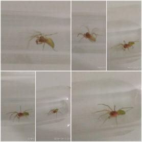 Picture of Nigma walckenaeri (Green-Leaf-Web Spider) - Male - Dorsal,Lateral
