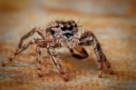 Picture of Platycryptus undatus (Tan Jumping Spider) - Female - Eyes