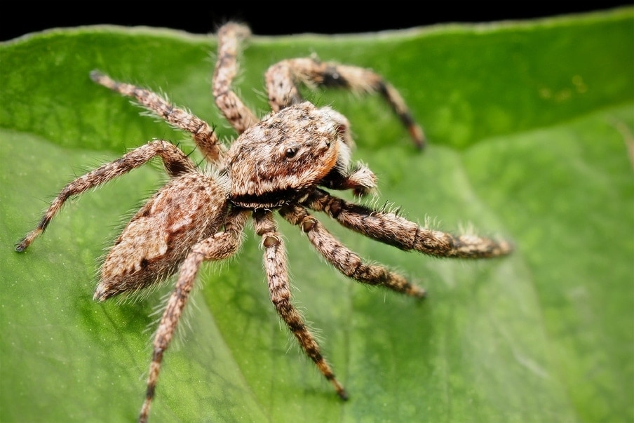 Picture of Platycryptus undatus (Tan Jumping Spider) - Male - Dorsal