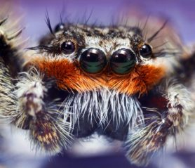 Picture of Platycryptus undatus (Tan Jumping Spider) - Male - Eyes