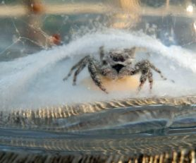 Picture of Platycryptus undatus (Tan Jumping Spider) - Female - Egg Sacs,Eyes