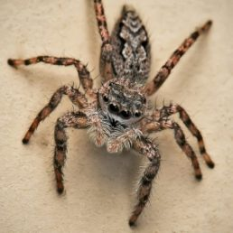 Featured spider picture of Platycryptus undatus (Tan Jumping Spider)