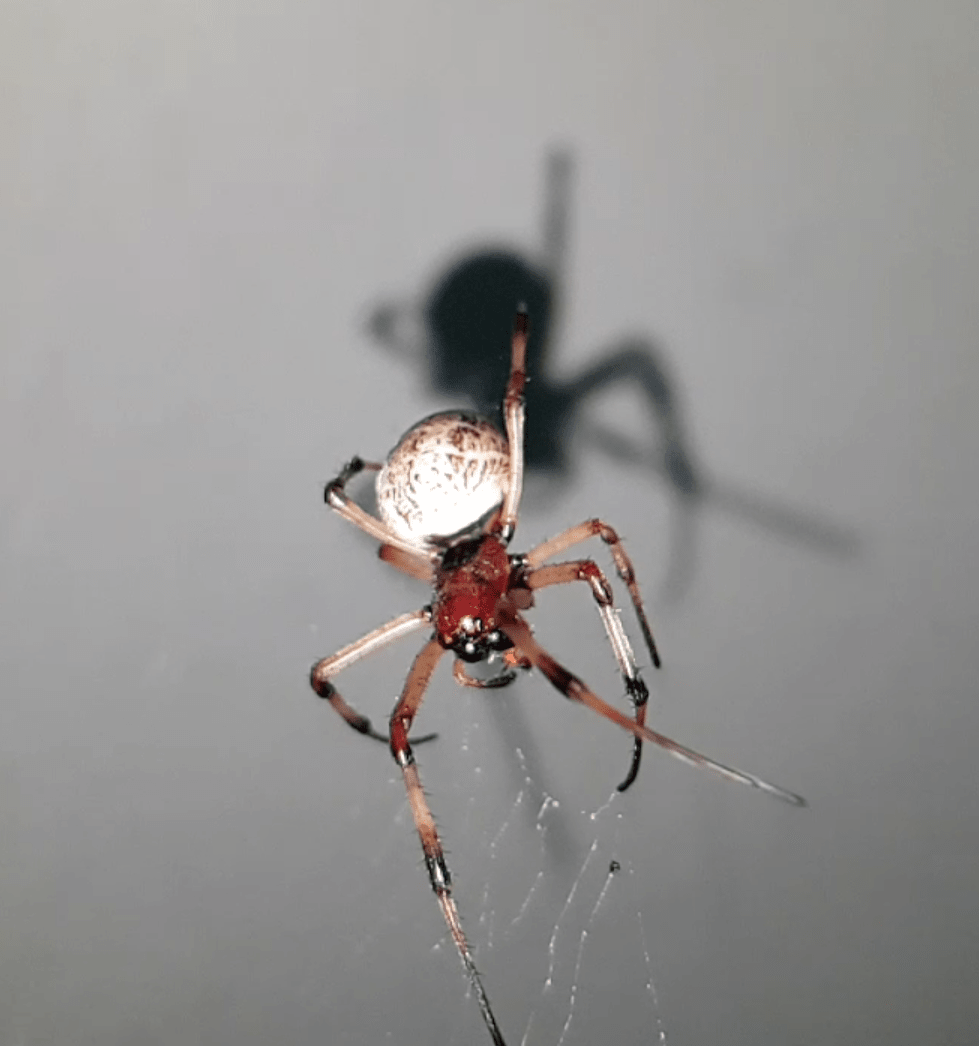 Picture of Nephilengys papuana (Papuan Hermit Spider)
