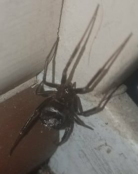 Picture of Steatoda spp. (False Widows) - Female - Dorsal