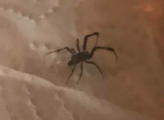 Picture of Zosis geniculata (Grey House Spider) - Lateral