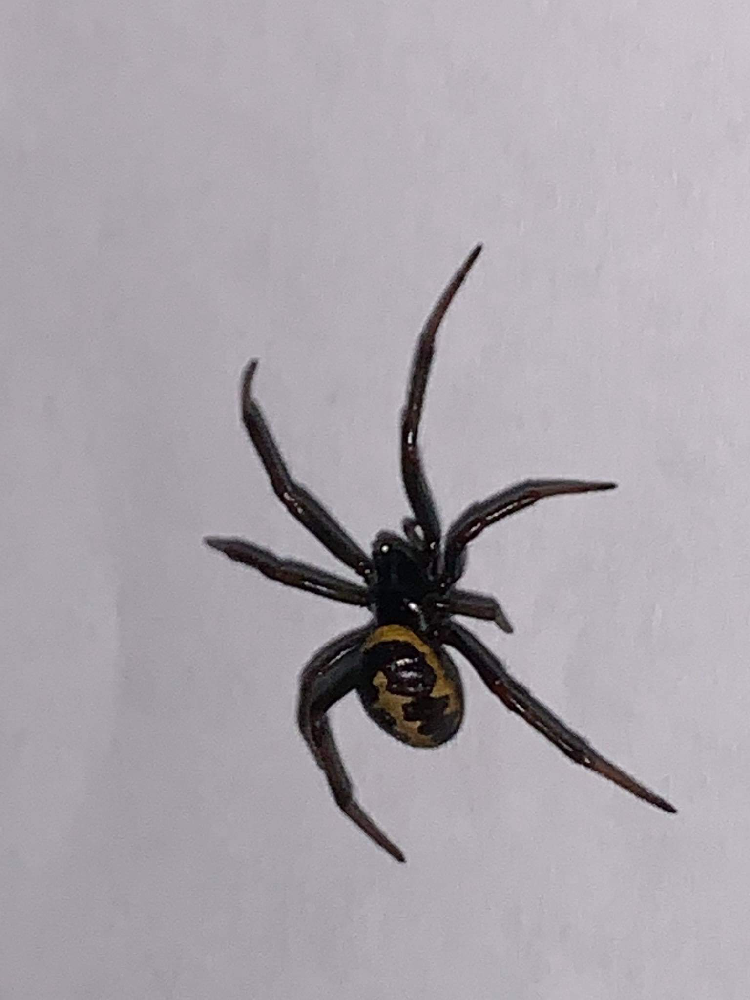 Picture of Steatoda paykulliana - Dorsal