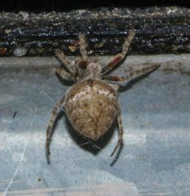 Picture of Eriophora edax - Dorsal
