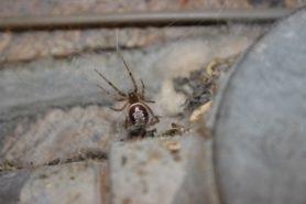 Picture of Steatoda nobilis (Noble False Widow) - Dorsal,Webs