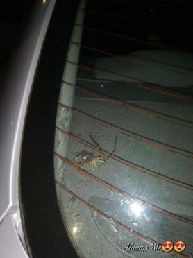 Picture of Heteropoda venatoria (Huntsman Spider)