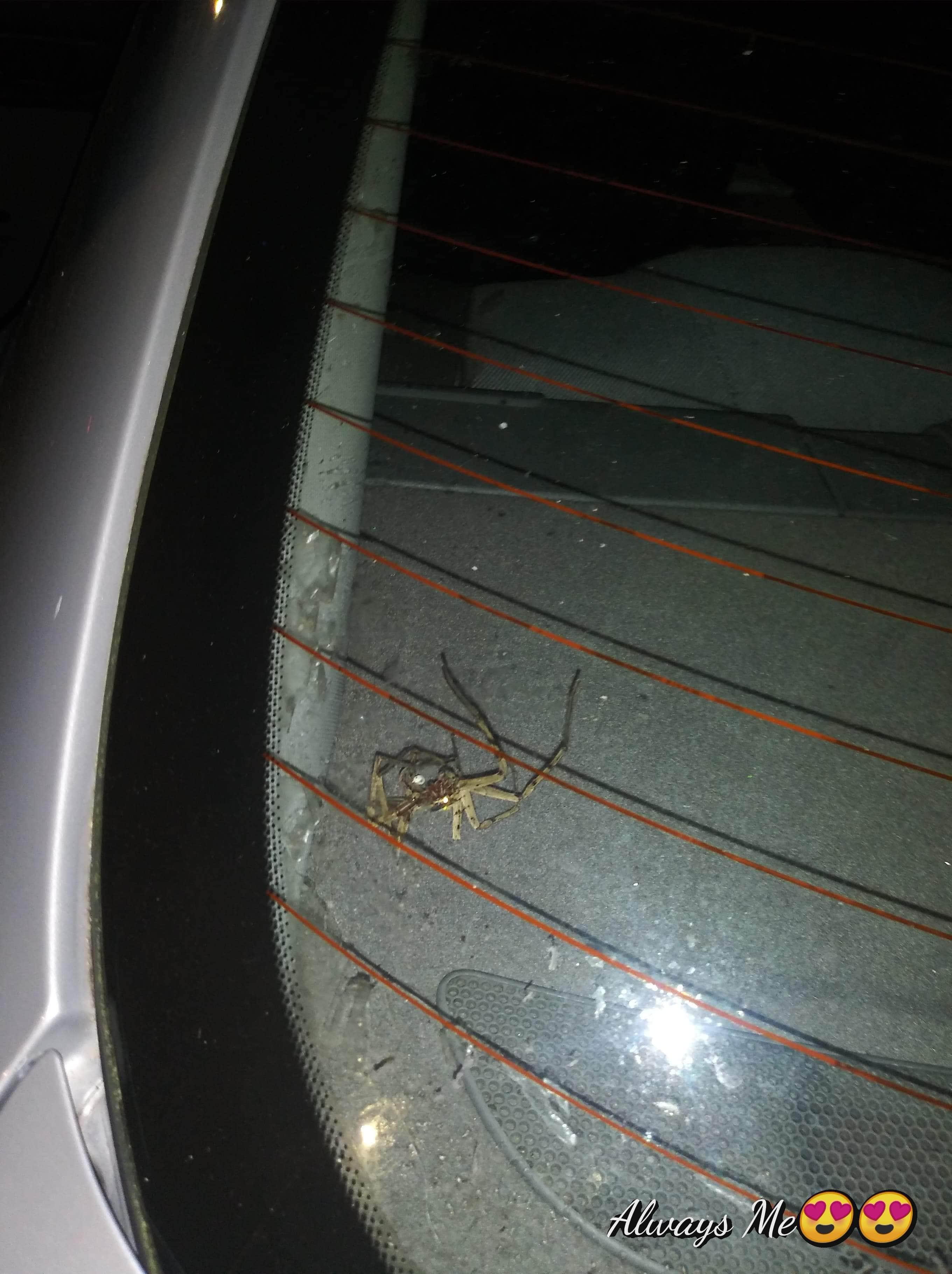 Picture of Heteropoda venatoria (Huntsman Spider)