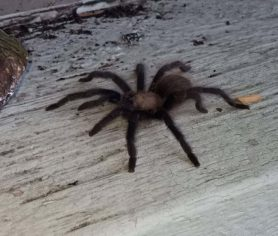 Picture of Aphonopelma spp. - Lateral