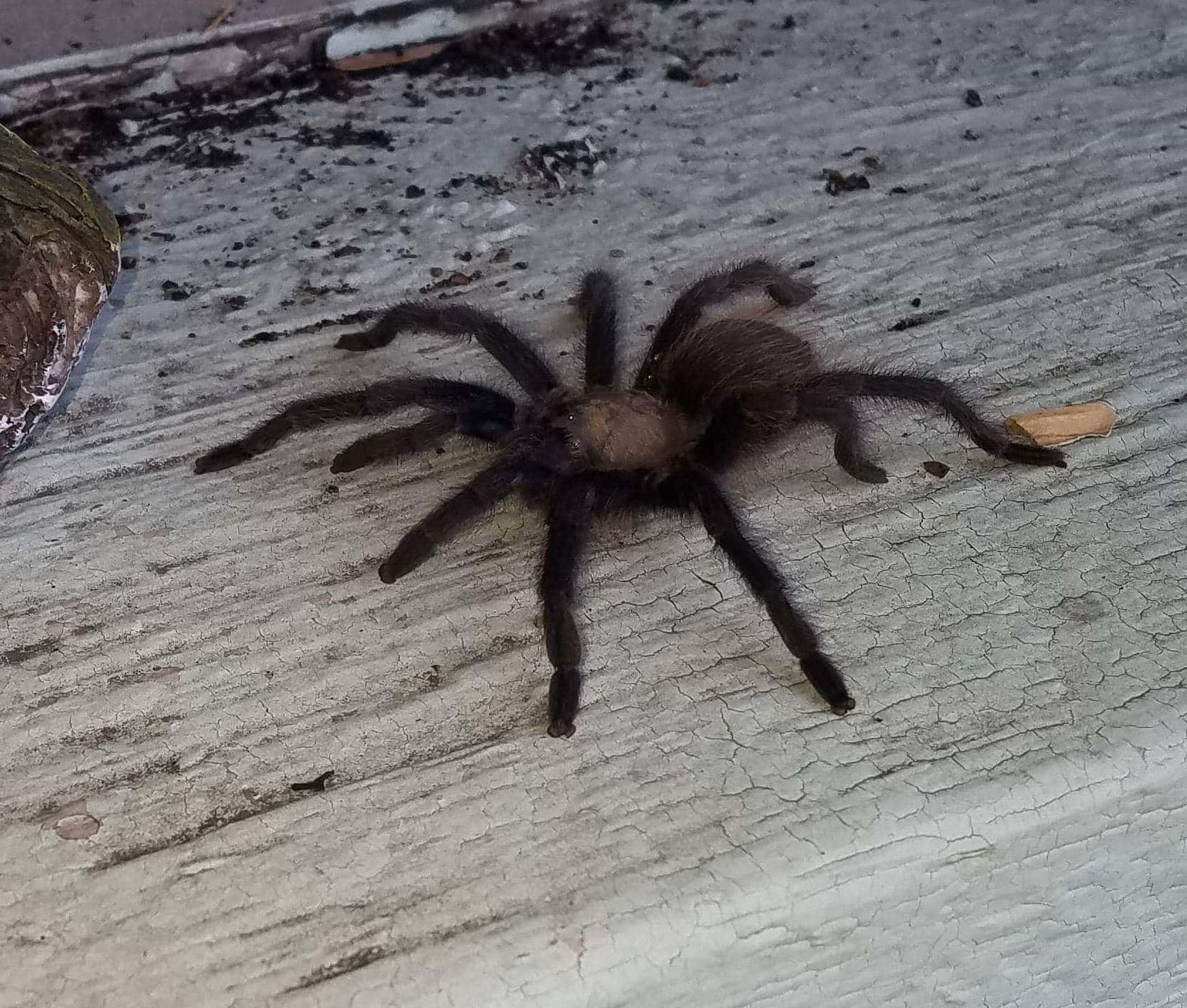 Picture of Aphonopelma - Lateral