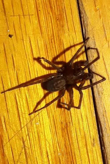 Picture of Amaurobius ferox (Black Lace-Weaver) - Male - Dorsal