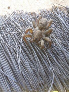 Picture of Tigrosa grandis - Dorsal