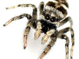 Picture of Salticus scenicus (Zebra Jumper) - Male - Eyes
