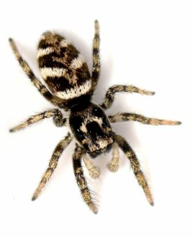 Picture of Salticus scenicus (Zebra Jumper) - Male - Dorsal