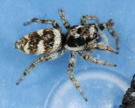 Picture of Salticus scenicus (Zebra Jumper) - Female - Lateral