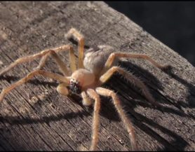 Picture of Olios giganteus (Giant Crab Spider) - Male - Dorsal