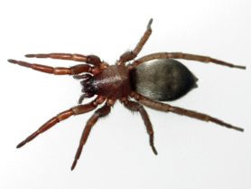 Picture of Scotophaeus blackwalli (Mouse Spider) - Female - Dorsal,Gravid