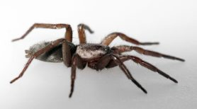 Picture of Scotophaeus blackwalli (Mouse Spider) - Female - Lateral