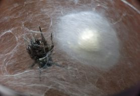 Picture of Scotophaeus blackwalli (Mouse Spider) - Female - Egg Sacs
