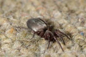 Picture of Scotophaeus blackwalli (Mouse Spider) - Female - Gravid