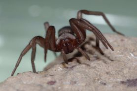 Picture of Scotophaeus blackwalli (Mouse Spider) - Female - Eyes