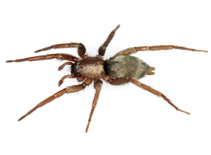 Picture of Scotophaeus blackwalli (Mouse Spider) - Male - Dorsal
