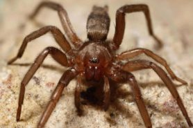 Picture of Scotophaeus blackwalli (Mouse Spider) - Eyes