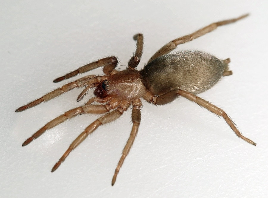 Picture of Scotophaeus blackwalli (Mouse Spider) - Female - Dorsal
