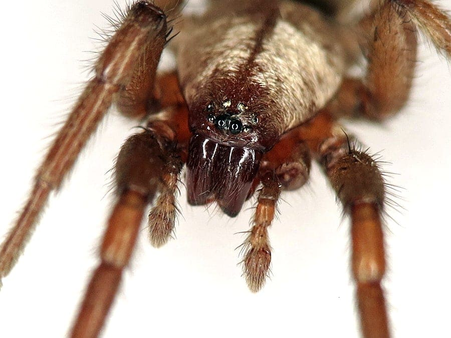 Picture of Scotophaeus blackwalli (Mouse Spider) - Male - Eyes