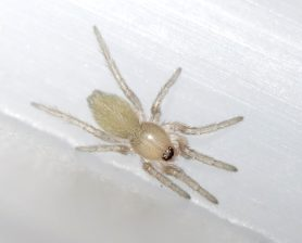 Picture of Scotophaeus blackwalli (Mouse Spider) - Dorsal,Spiderlings