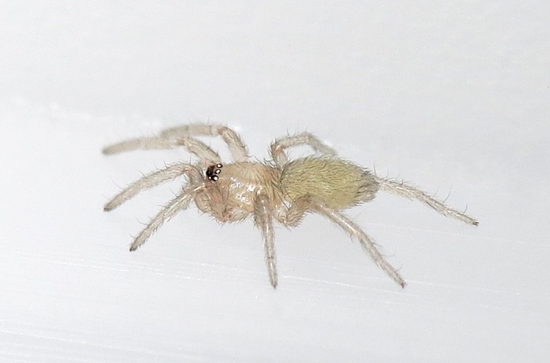 Picture of Scotophaeus blackwalli (Mouse Spider) - Lateral,Spiderlings