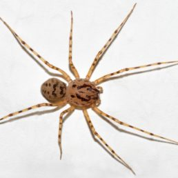 Featured spider picture of Scytodes thoracica
