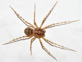 Picture of Scytodes thoracica - Female - Dorsal