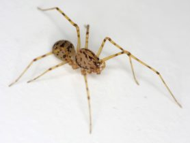 Picture of Scytodes thoracica - Male - Lateral
