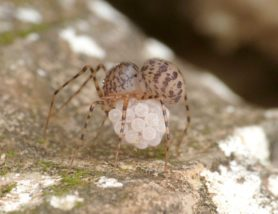 Picture of Scytodes thoracica - Female - Egg Sacs,Lateral
