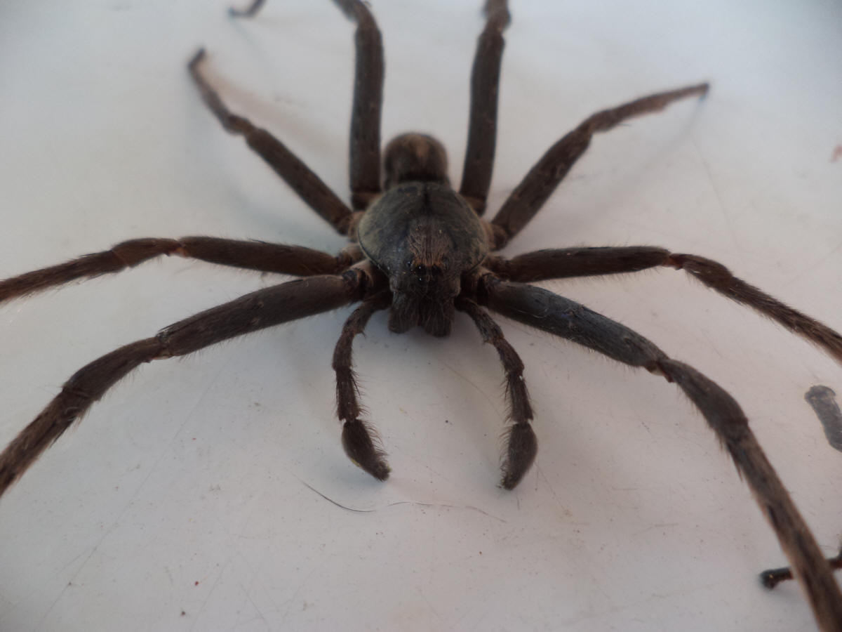 Picture of Ctenidae (Wandering Spiders) - Male - Eyes