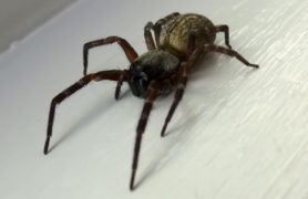 Picture of Badumna longinqua (Grey House Spider)