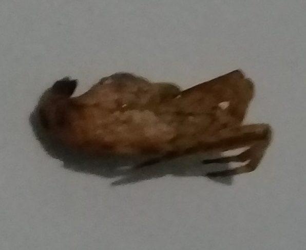 Picture of Arachnura melanura - Dorsal